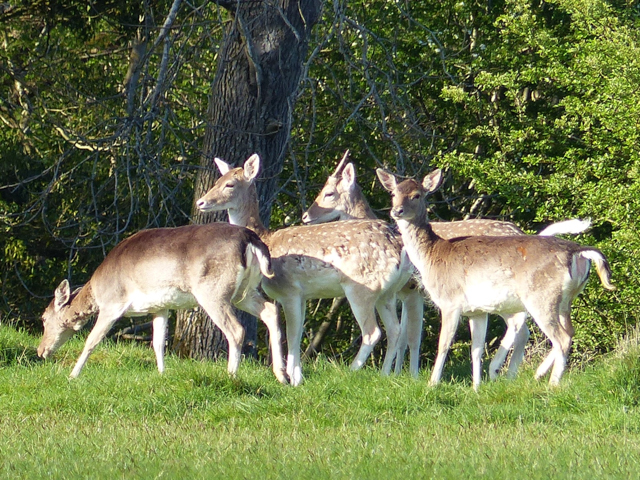 Fallow Deer at Coldwell by Ann Kitchen
