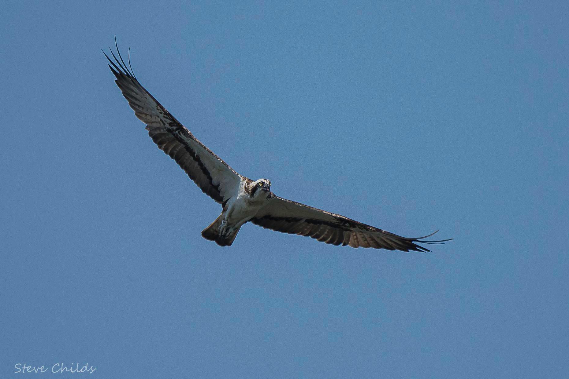 Osprey soaring - image courtesy of Steve Childs