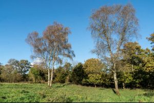 Birch trees at Coldwell Parrock