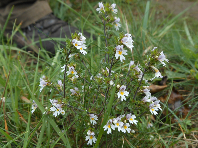 Eyebright plant in flower