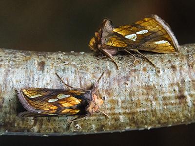 A pair of Gold Spot moths