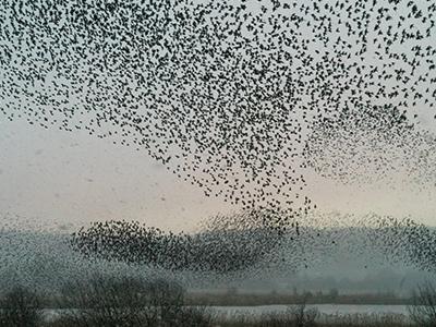 Starling murmuration at Leighton Moss