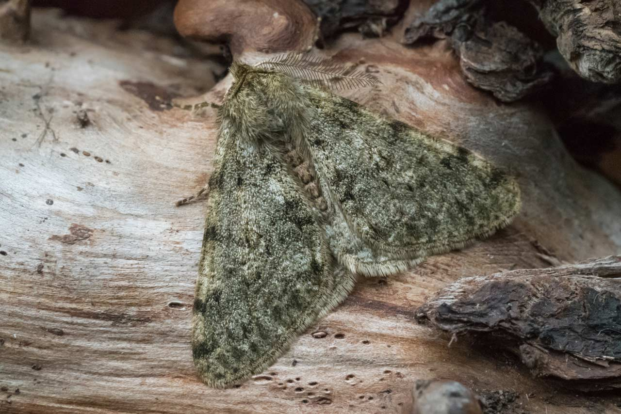 male Pale Brindled Beauty moth