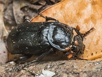 Black Sexton Beetle