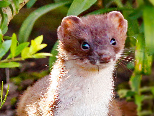 Stoat in the AONB [Photo: David Talbot]