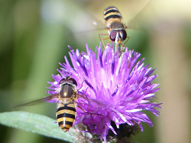 Hoverflies getting nectar from Knapweed [Photo: Ken Kitchen]