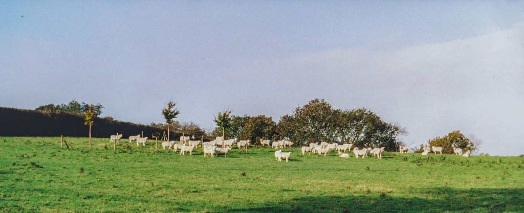 Sheep at Coldwell