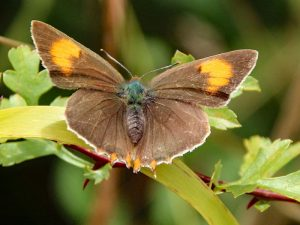 Brown Hairstreak Butterflies – why are we so excited about having them at Coldwell?