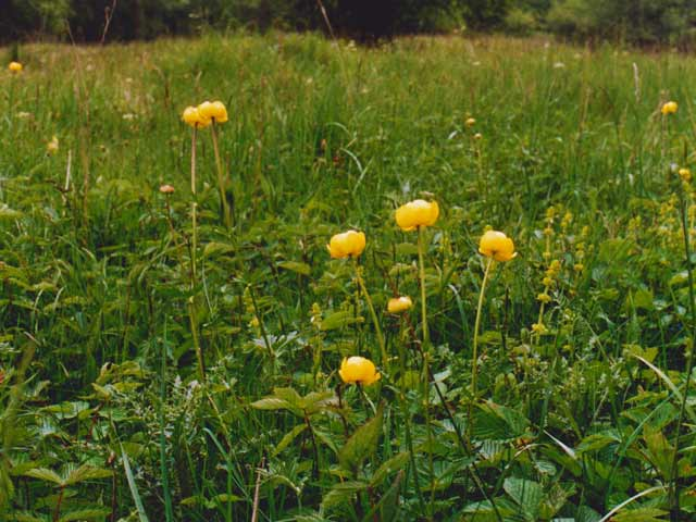 Globe flowers in Creep-i'-th'-Call meadows.