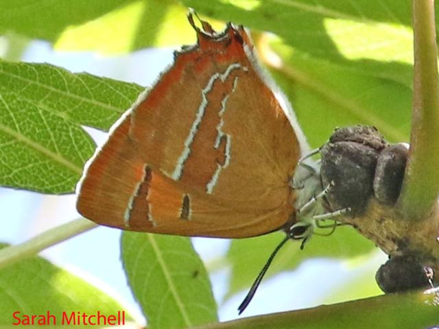 Female Brown Hairstreak