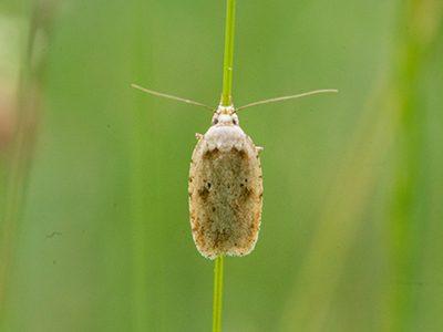 Agonopterix aranella moth