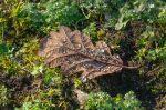 Oak-Leaf-in-Dew