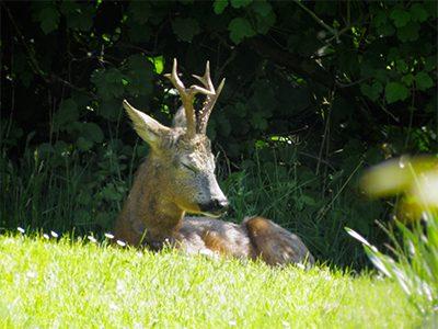 Roe buck resting