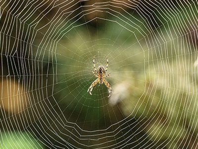 Garden Orb spider in web